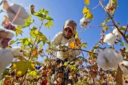 پنبهکاران اردبیل دست به دامن واردات/بذر تولید داخل خریدار ندارد