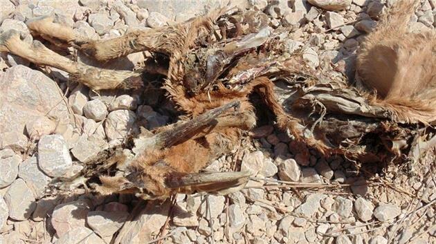 حیات وحش درگیر خشکسالی/حیوانات تشنه بهآغوش مرگ پناه میبرند