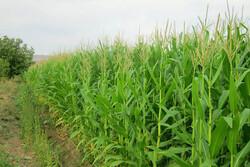 کشت دوم محصولات کشاورزی طی سال ۱۴۰۰ در روانسر ممنوع است