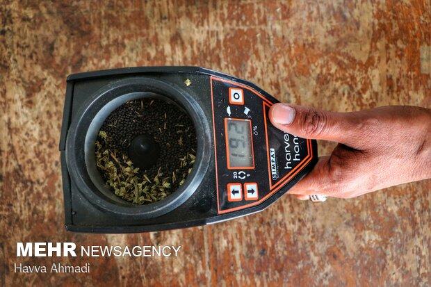 نمونه ای از ثبت بالای رطوبت دانه های روغنی که این موارد از کلزاکاران پذیرفته نمی شود. زمانی که شرایط آب و هوایی دارای رطوبت و بارندگی می باشد نباید کلزا برداشت شود.