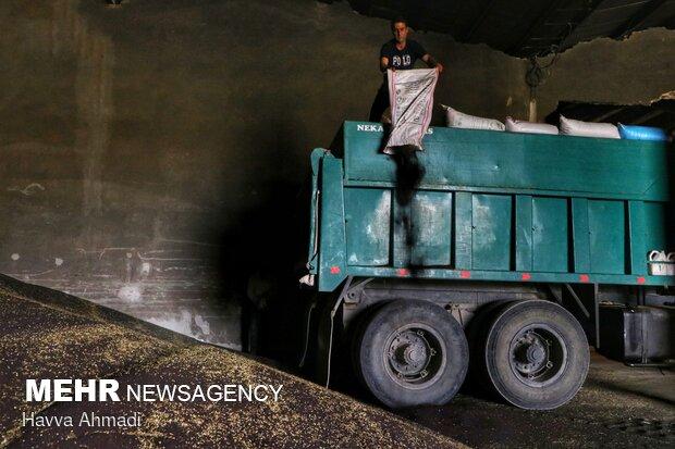 تخلیه کیسه های دانه های روغنی توسط کارگران در انبار