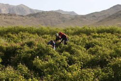 حمایت دولت از تولیدکنندگان گل محمدی در فیروزکوه با واگذاری زمین