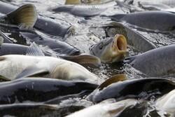 تولید ماهی در چهارمحال و بختیاری ۲۰ درصد  کاهش یافت
