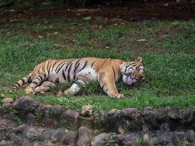 بنگلادیشی پولیس نے 20 سال سے شیروں کا شکار کرنے والے شکاری کو گرفتار کرلیا