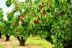 ۱۸هزار تن گیلاس از باغات آذربایجان غربی برداشت می شود