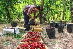 پیش بینی برداشت ۳۰۰۰ تن گیلاس و آلبالو از باغات گلستان