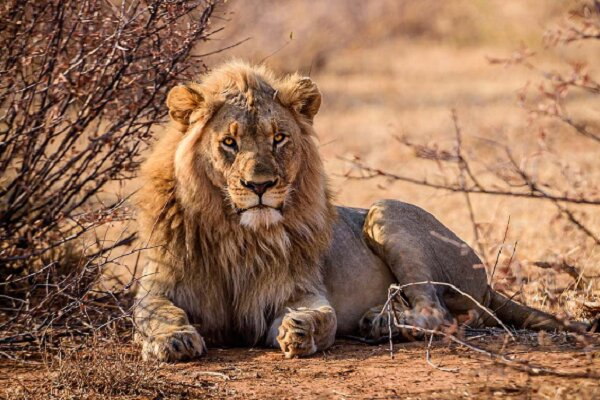 جشنواره مونتکارلو ۶۰ ساله شد/ نمایش مستندی تکان دهنده از شیرها