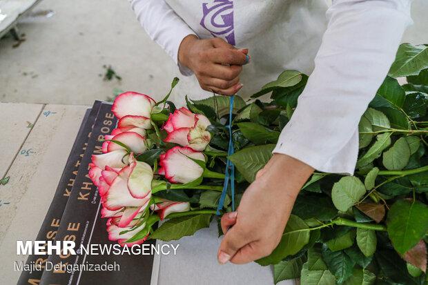پرورش گل رز در کویر