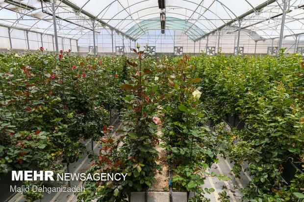Farming Dutch roses in desert