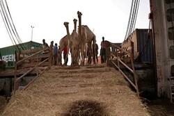 شترهای قطری، تحویل مالک شد/رایزنی برای ترخیص بدون مجوز