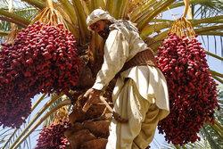 Dates harvesting in Sistan and Baluchestan
