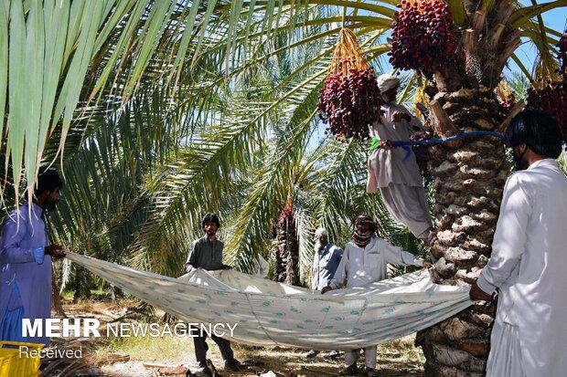 برداشت خرما از نخلستان های سیستان و بلوچستان