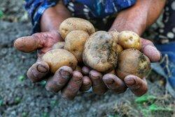 Potato harvest in Mazandaran