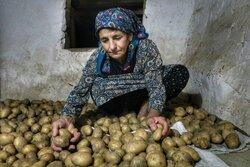 طرح دولت برای رفع کمبود علوفه در گلستان/به دامها سیب زمینی می دهیم!