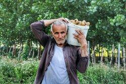 گنجِ خاکی گلستان به «آخور» رسید/ ۶ هزار تن سیب زمینی خوراک دام شد!