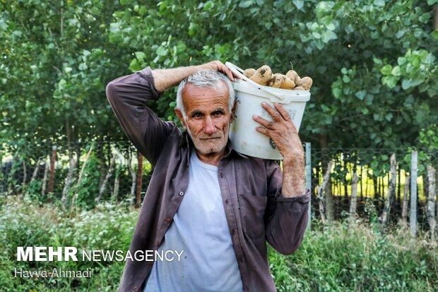 İran'daki patates hasadından fotoğraflar