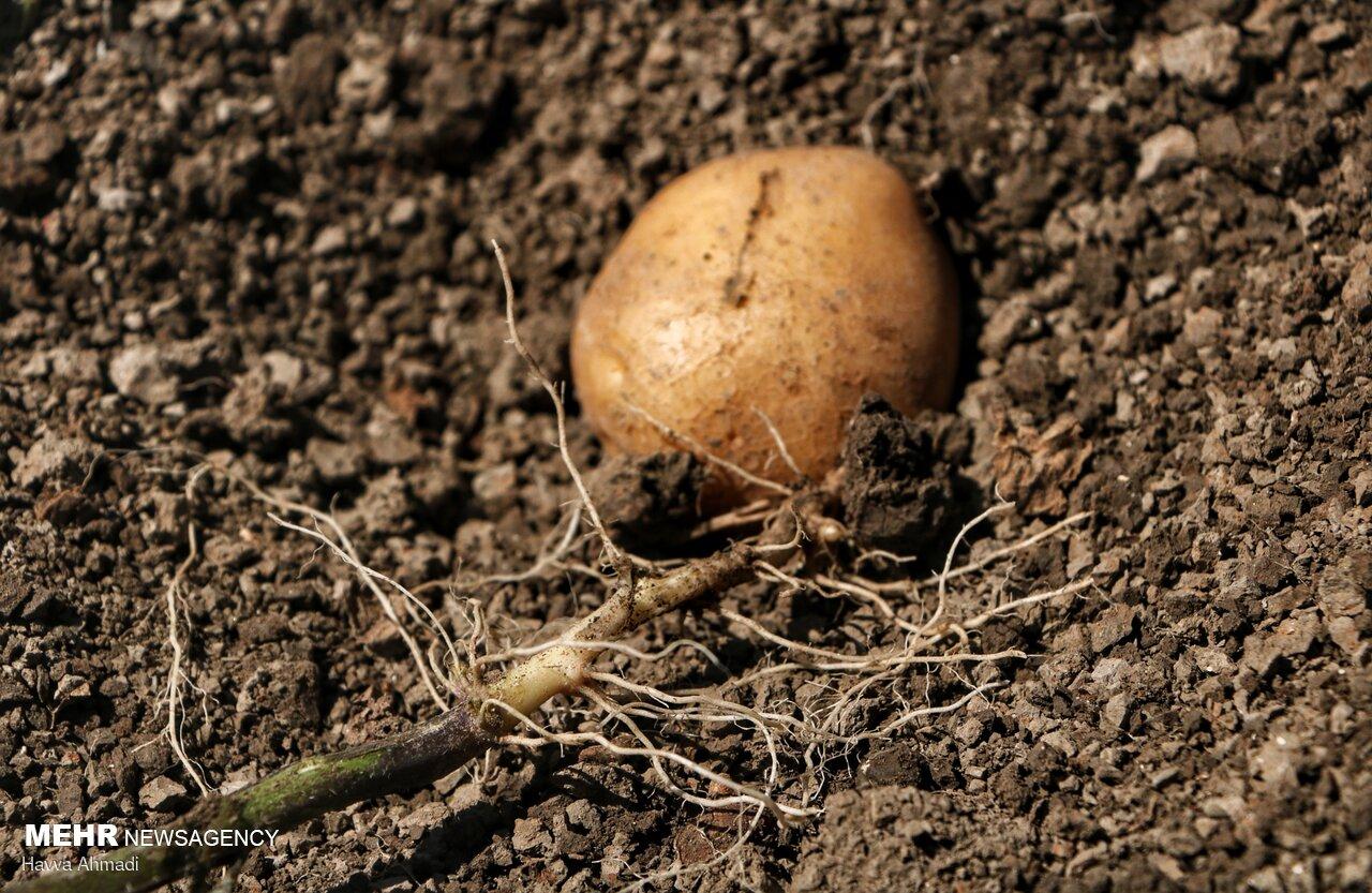 تولید سالانه ۱۴ میلیون عدد ریزغده سیبزمینی گواهیشده در کشور