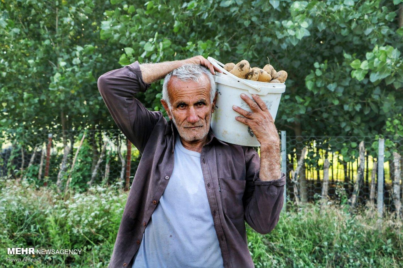 خرید حمایتی سیب زمینی در گلستان/قیمت کیلویی ۱۷۰۰ تومان تعیین شد