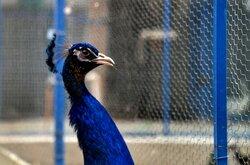 Breeding peacocks and pheasants in N Iran