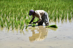 جایگزینی کشت برنج کینوا به جای چمپاراهکاری برای مصرف بهینه آب