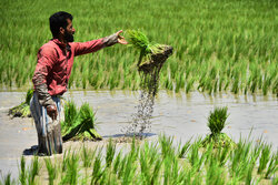 Farmers planting rice seedling in Isfahan