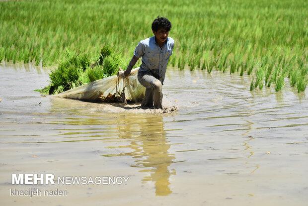 نشاء کاری برنج