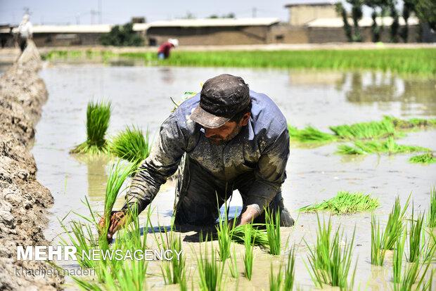 Planting rice sapling in Isfahan
