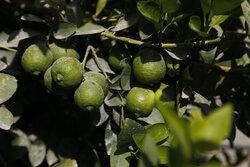 İran'ın güneyinde limon hasadı