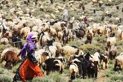 میزان تولید علوفه دام عشایر استان بوشهر ۵۰ درصد کاهش یافت