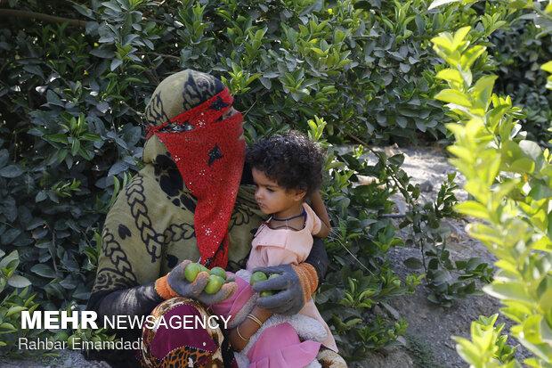 Harvesting sour lemons in Hormozgan province
