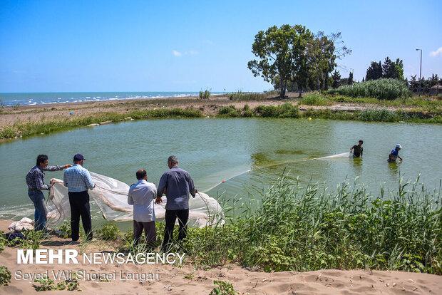 جمع آوری بچه ماهی ها برای رها سازی و انتقال به رودخانه