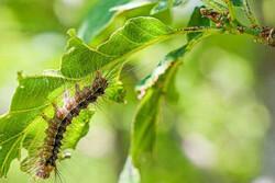 پاییز در تابستان/طغیان آفت پروانه دم قهوه ای در جنگل های ارسباران