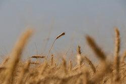 قیمت فروش گندم دولتی بازنگری می شود