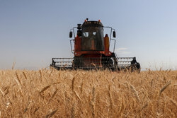 تولید گندم ۳۰ درصد و خرید تضمینی ۵۰ درصد کاهش یافت/ دولت سیزدهم به قانون عمل کند