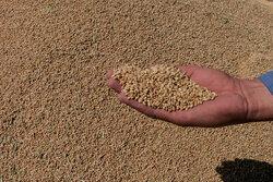 ۱۹۰ تن گندم احتکاری در مراوه تپه کشف شد