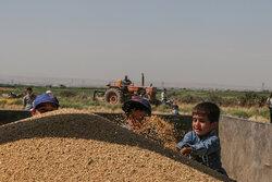 ۲۰ هزار تن بذر گندم مورد نیاز کشاورزان استان مرکزی تأمین شد