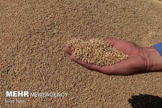۲۹۶ هزار و ۱۱۷ تن بذر گندم آبی و دیم از کشاورزان خریداری شد