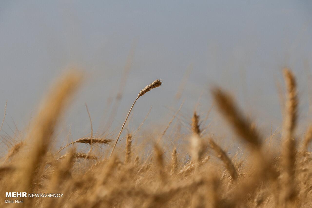 بسته سیاستی حمایت از کشاورزی قراردادی گندم ابلاغ شد