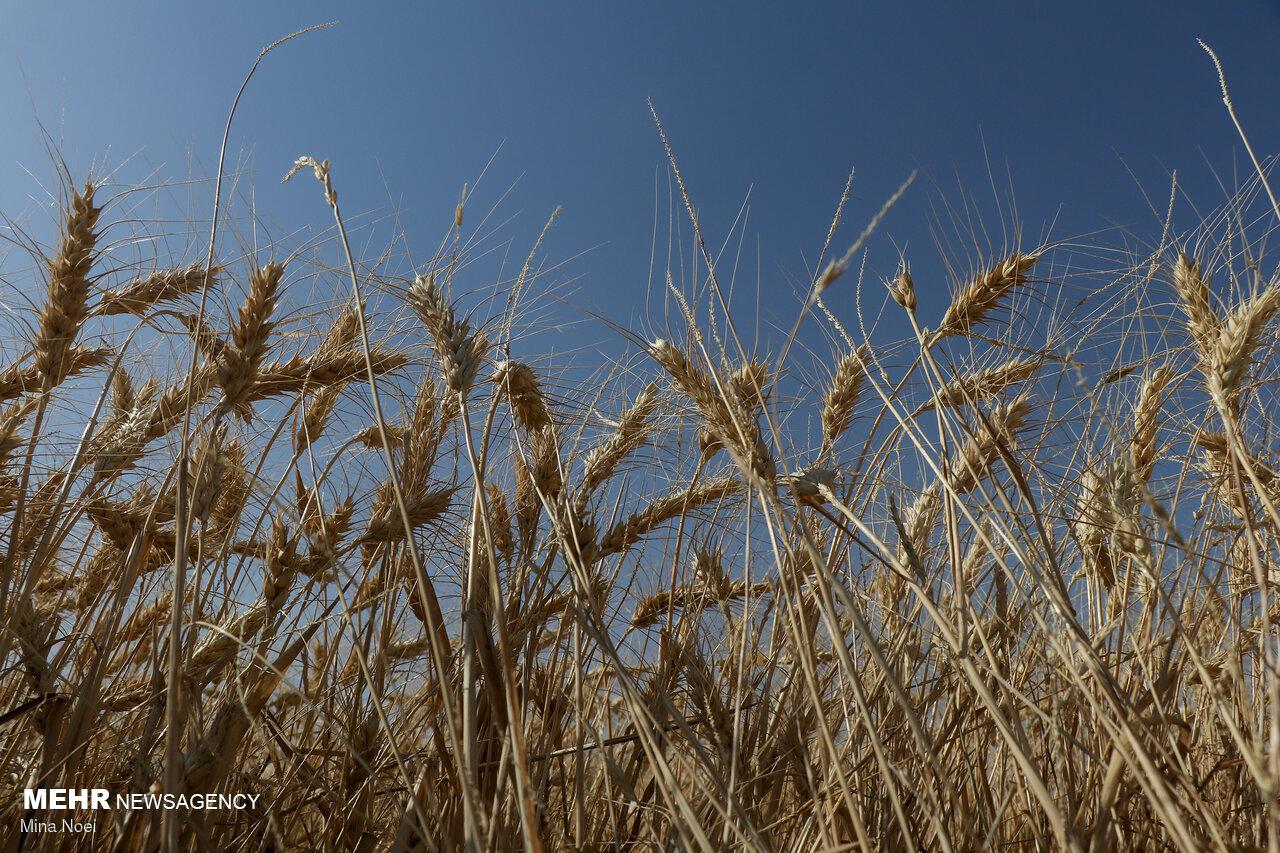 قیمت تضمینی محصولات کشاورزی ابلاغ شد/ کلزا ١۵ هزار تومان