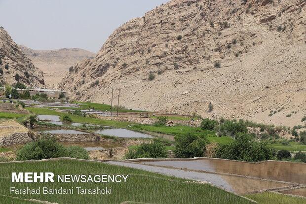 نشاء برنج در شالیزارهای منطقه رباط باغملک - خوزستان