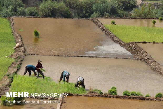 سرانه مصرف برنج هر ایرانی، سالی۳۶ کیلوگرم,