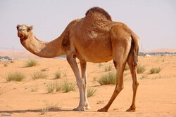 Iran removes ban on exports of camels