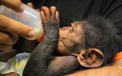 Eram Zoo's chimp to leave Tehran for Kenya tonight