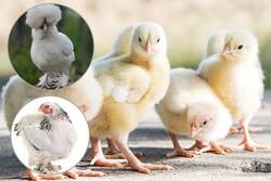 برخورد قانونی با یک شرکت تولید جوجه یکروزهدر گلستان