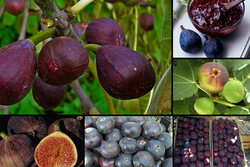 روزهای برزخی میوه بهشتی/ سیلی خشکسالی صورت باغات انجیر را سیاه کرد