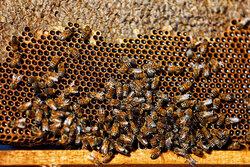 Beekeeping in Hamedan