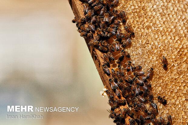 زنبورستان  عسل
