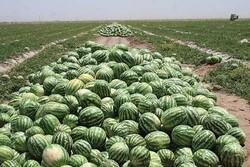 امسال ۶۶ هزار تن هندوانه از باغات گیلان برداشت می شود