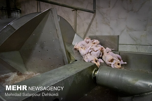کشتارگاه کشتارگاه صنعتی مرغ - چهارمحال و بختیاریمرغ
