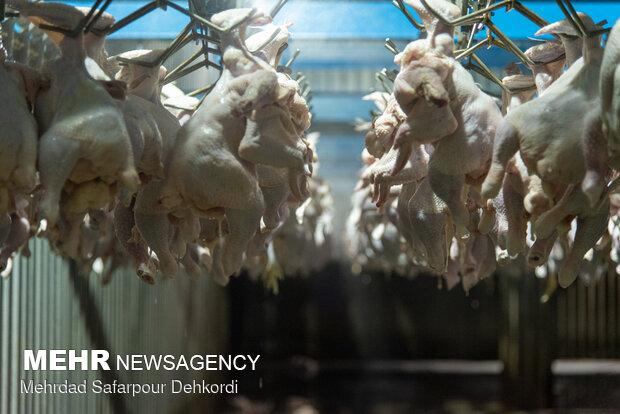 کمبود دوباره مرغ در بازار ایلام/مرغها راهی استانهای دیگر میشود